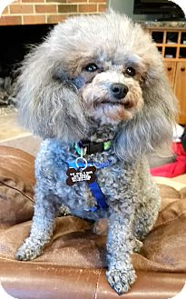 Toy Poodle Dog for adoption in West Linn, Oregon - Hairy