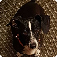 Adopt A Pet :: Duke Rafferty - South Bend, IN