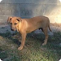 Adopt A Pet :: Colt - Blountstown, FL