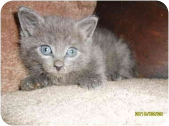 Russian Blue Kitten for adoption in Frenchtown, New Jersey - Oleg