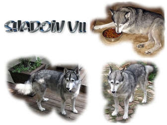 Siberian Husky Dog for adoption in Seminole, Florida - Shadow VII