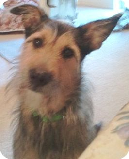 Airedale Terrier/Old English Sheepdog Mix Dog for adoption in Orlando, Florida - Ozzy