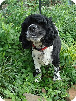 Cocker Spaniel Dog for adoption in Sugarland, Texas - Buddy