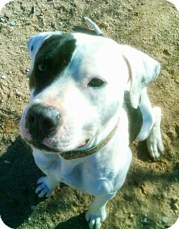 American Staffordshire Terrier Mix Dog for adoption in Toluca Lake, California - Willow