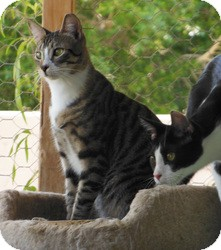 Domestic Shorthair Cat for adoption in Mission Viejo, California - Ducky