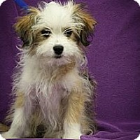 Adopt A Pet :: Lumen - Broomfield, CO