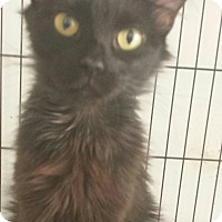 Adopt A Pet :: Paris - Chandler, AZ