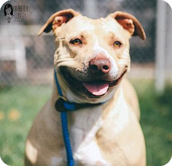 American Staffordshire Terrier Mix Dog for adoption in Ventura, California - Kasey