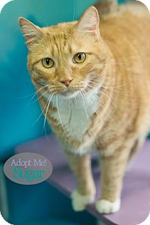 Domestic Shorthair Cat for adoption in West Des Moines, Iowa - Sugar