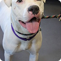 American Pit Bull Terrier Mix Dog for adoption in Mt Vernon, New York - Boo