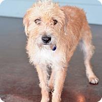 Adopt A Pet :: Archer - San Antonio, TX