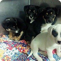 Adopt A Pet :: 4 mixed puppies - mooresville, IN