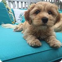 Adopt A Pet :: Cognac - Manhattan Beach, CA