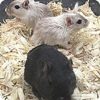 Adopt A Pet :: Thunder, Dusty & Twilight - Patterson, NY