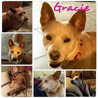 Australian Cattle Dog/Australian Kelpie Mix Dog for adoption in Phoenix, Arizona - Gracie