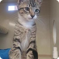 Adopt A Pet :: Sox - Walnut Creek, CA