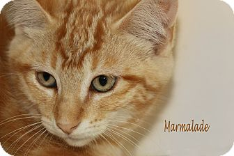 Domestic Shorthair Cat for adoption in Idaho Falls, Idaho - Marmalade