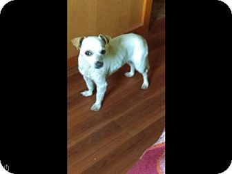 Chihuahua Mix Puppy for adoption in North Creek, New York - Daisy - Chi Mix