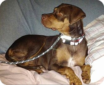 Doberman Pinscher Mix Dog for adoption in Covington, Tennessee - Cinnamon