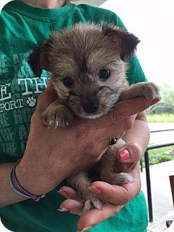 Terrier (Unknown Type, Medium) Mix Dog for adoption in Centreville, Virginia - Kiwi