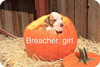 American Pit Bull Terrier Mix Puppy for adoption in Sonoma, California - Breacher
