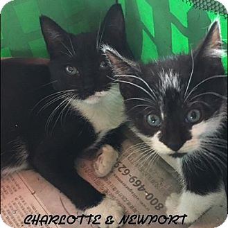 Domestic Mediumhair Kitten for adoption in Great Neck, New York - Newport