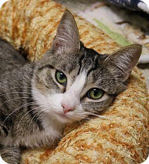 Domestic Shorthair Kitten for adoption in Wenatchee, Washington - Royal