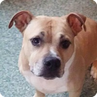 American Staffordshire Terrier Dog for adoption in Monterey, Virginia - Kingston