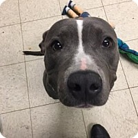 Terrier (Unknown Type, Medium)/American Pit Bull Terrier Mix Dog for adoption in Fulton, Missouri - Key Lime Pie- Ohio