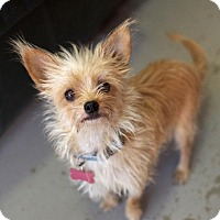 Yorkie, Yorkshire Terrier Mix Dog for adoption in Canyon Country, California - Wookie