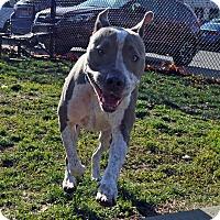 Adopt A Pet :: MANOLO - Boston, MA