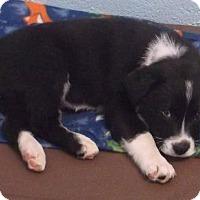 Adopt A Pet :: Checkers - Orangeburg, SC