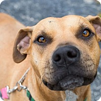 Adopt A Pet :: Ashley - Hartford, CT