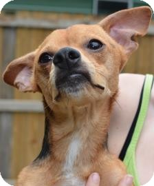 Chihuahua Mix Dog for adoption in Gainesville, Florida - Cheech