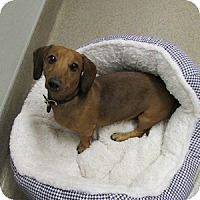 Adopt A Pet :: Ziggy - Gilbert, AZ