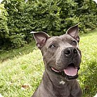 Adopt A Pet :: Maybel - Des Peres, MO