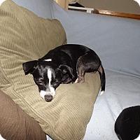 Adopt A Pet :: Bella - Quincy, IN