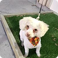 Adopt A Pet :: Snowy - Brea, CA