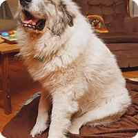 Adopt A Pet :: Gatsby  *Adopted - Tulsa, OK