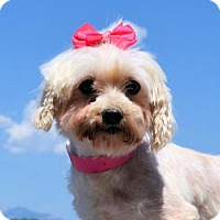 Adopt A Pet :: Claire - Lakewood, CO