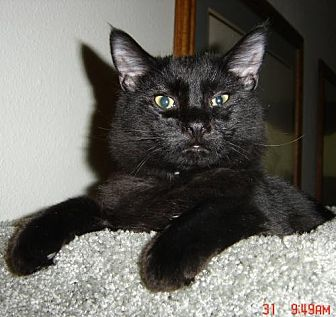 Domestic Shorthair Cat for adoption in Los Angeles, California - BLACK JACK PERSHING