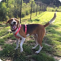 Foxhound/Beagle Mix Dog for adoption in Summerville, South Carolina - Harvey