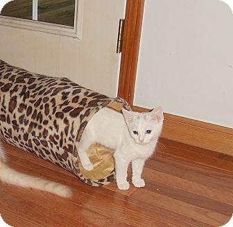 Domestic Shorthair Kitten for adoption in Evans, West Virginia - Dotty