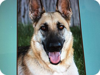 German Shepherd Dog Puppy for adoption in Los Angeles, California - CHANEl VON CHIRUG