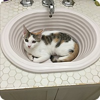 Calico Kitten for adoption in New  York City, New York - Angelica