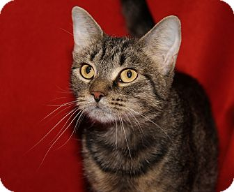 Domestic Shorthair Cat for adoption in Marietta, Ohio - Bridget (Spayed)