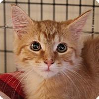 Adopt A Pet :: Madame Blanc - Chicago, IL