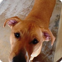 Labrador Retriever Mix Dog for adoption in Crown Point, Indiana - Sugar