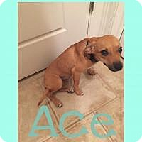 Adopt A Pet :: Ace - Walker, LA