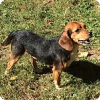 Beagle Mix Puppy for adoption in Dumfries, Virginia - Brownie